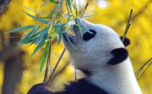 panda frisst bambus nachhaltiger rohstoff armbanduhren holz